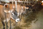 jersey-cows-in-dairy-barn-at-meadow-lynn-farms